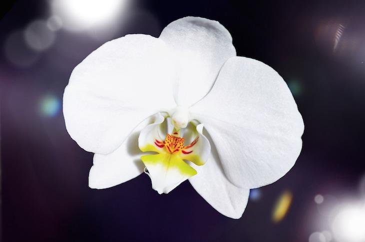 orchideen in weiss