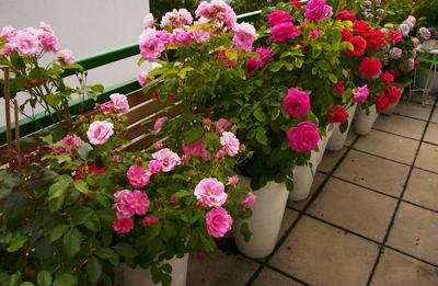 rosenstock-im-topf